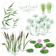 Wetland Plants Set (Vector EPS algae aquatic bog botany cane Carex c Pond Drawing, Lilies Drawing, Nature Drawing, Lily Pad Drawing, River Drawing, Pond Plants, Nature Plants, Aquatic Plants, Flowers Nature