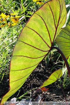 Colocasia esculenta 'Blue Hawaii' - Elephant Ear - I want some for my sunroom. Tropical Plants, Colocasia, Foliage Plants, Landscaping With Rocks, Plants, Planting Flowers, Pretty Plants, Tropical Landscaping, Elephant Ear Plant