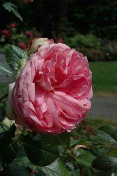 Яндекс.Фотки переехали   Розы, Красивые цветы, Чайные розы