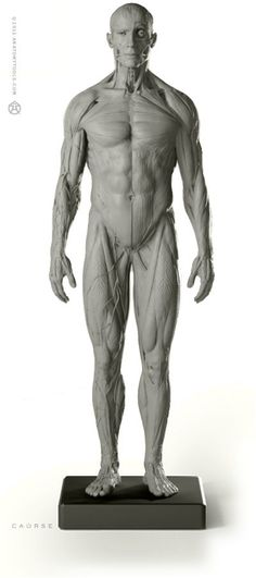 Male Anatomy figure. This desktop model shows ideal proportions & superficial muscles of the male human body. Shows the rarely displayed platysma muscle & fascia of the body & surface vascular system. Matches the male skeleton & proportional figure. #anatomy