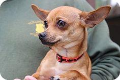 San Luis Obispo, CA - Chihuahua. Meet *ANGELO*, a dog for adoption. http://www.adoptapet.com/pet/15877252-san-luis-obispo-california-chihuahua