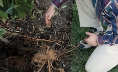 Grow more plants with root cuttings | Fine Gardening