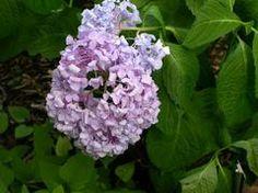Hydrangea macrophylla 'Bailmer' ENDLESS SUMMER -