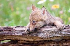 Wolf pulp