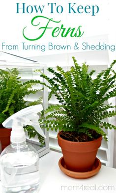 How to keep ferns from turning brown and shedding along with tons more tips and tricks at mom4real.com! Follow Mom 4 Real on Pinterest for more tips!