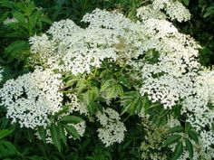 Sambucus nigra - Black elder, European Elderberry, These are used for their ornamental characteristics. American elderberry is grown for the fruit.