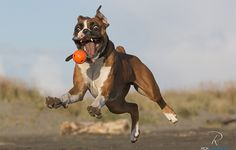 #Boxer chasing ball... this is hilarious!