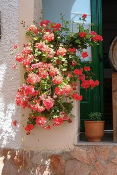 Pink Geraniums.
