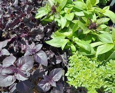 Pesto Recipes, Herb Garden, Basil | Gardener's Supply