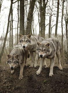 Animalcontact est fier de vous présenter sa fraterie de loups européens.