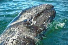 YES !!! The Mexican government granted special protection of 199,000 acres of land surrounding the grey whale nursery in Baja.......