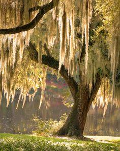 Outdoor Draperies / Live Oak with Spanish Moss, Middleton Place, Charleston, SC *** © Doug Hickok