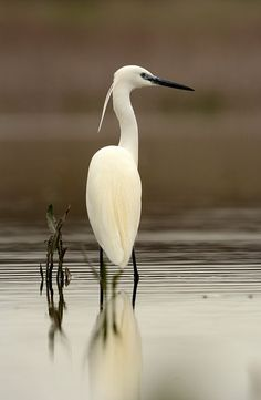 Egret by Alex_Appleby. Many of these are in our fields nearby! Love them