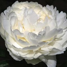 Paeonia 'Bowl of Cream'