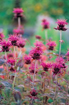 How to Grow Monarda Varieties—Bee Balm, Bergamot, Oswego and Horsemeint