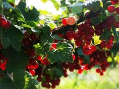 Currant Shrubs: Learn How To Grow Currants In Gardens in Fruits, Edible Gardens Currant Bush, Currant Berry, Currant Fruit, Fruit Garden, Edible Garden, Vegetable Garden, Garden Shrubs, Garden Plants, Gardening Magazines
