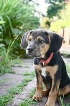 Coon Dog Puppies For Sale In Arkansas