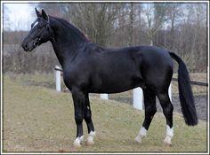 Alt-Oldenburg / East Friesian stallion Ernst