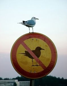 This is an example of disobedience. Someone is much more likely to not follow through with orders when the person (bird) is at a greater distance from authority.