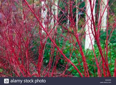 Download this stock image: Hymalayan Birches Betula utilis var jacquemontii and Red tig Dogwood Cardinal Cornus sericea in mid October - E9HAR0 from Alamy's library of millions of high resolution stock photos, illustrations and vectors.