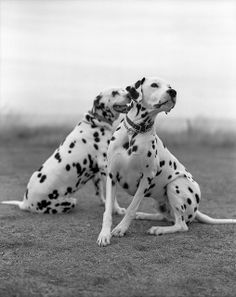 dalmatians on the farm | Recent Photos The Commons Getty Collection Galleries World Map App ..