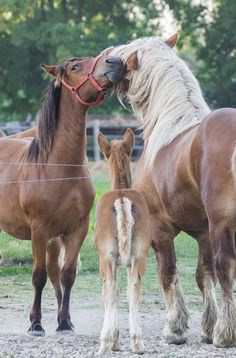Little foal looking on at horses nuzzling over the fence. Look at that big horse! What beautiful coloring!