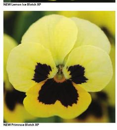 #ClippedOnIssuu from PanAmerican Seed and Kieft Seed Primrose blotch yellow pansy.