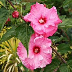 Rose of Sharon Alternative: Swamp Rose Mallow