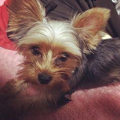 ' りん🐶 ' #夜更かし #大好き #まだまだ赤ちゃん #甘えん坊 #犬 #愛犬 #犬バカ部 #カメラ女子 #ヨークシャテリア #ヨーキー #わんこ #悪ガキ #おチビ #癒やしワンコ #犬のいる暮らし #ワンコなしでは生きて行けません会  #yorkie #yorkshireterrier #yorkiegram #yorkiesofinstagram #dog#lovemydog #doglover #cutedog #yorkielove #petstagram #instadog#yorkiepuppy#instagood