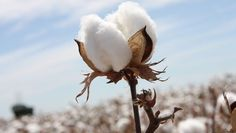 What is Egyptian Cotton? Egyptian Cotton is a natural fiber, grown in climate condition like Egypt. It is known as ELS cotton. Photography Ideas At Home, Creative Photography, Sisal, Home Remedies For Uti, Cotton Plant, Egyptian Cotton, Planting Seeds, Candle Making, Fragrance Oil
