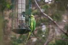 Wild Parrots Thriving in Southern California: