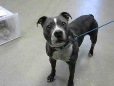 American Pit Bull Terrier dog for Adoption in Fayetteville, NC. ADN-811570 on PuppyFinder.com Gender: Male. Age: Adult