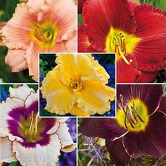 Reblooming Daylily Collection