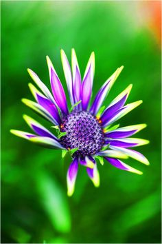 Purple Daisy by *emerald753