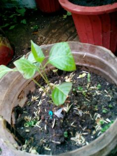 Little Kiss plant/stem cutting...