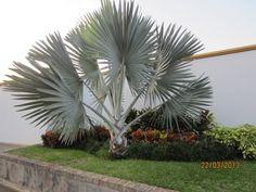 Bismarckia nobilis, Palma Bismarck | natural