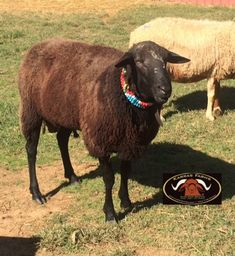 www.karrasfarm.com  East Friesian dairy sheep. USA