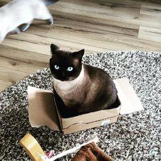 Ich hab ne Kiste... #britishshorthair #instacat #colorpoint #bshkitten #cat #kater