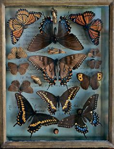 A selection from the butterfly and moth collection of Titian R. Peale, a noted century entomologist. I should have been an entomologist. Wicca, Curiosity Cabinet, Miss Clara, Ac New Leaf, Cabinet Of Curiosities, Natural Curiosities, Photocollage, Displaying Collections, Collections Of Objects