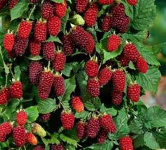 Vancouver Island Tayberry Seeds ★ Raspberry / Blackberry Cross Breed ★ 25 Seeds