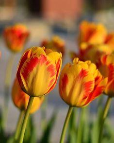 Tulipanes de Estambul. #turquiaturismo #turquia #estambul #turismo #viajes #viaje #viajero #viajeros #instaviajes #instaturismo #instatravel #travel #fotodeldia #foto #picoftheday #photooftheday #tulipanes #flores