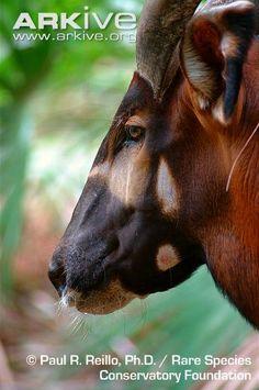 Adult male eastern bongo portrait - View amazing Bongo photos - Tragelaphus eurycerus - on Arkive Beautiful Creatures, Animals Beautiful, Safari Animals, Cute Animals, Dik Dik, African Antelope, Rare Species, Portrait Inspiration, Animal Kingdom