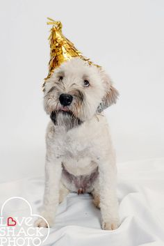 one year old wheaten terrier