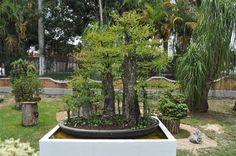Museo Tatsugoro - Bonsai en el Tropico Bonsai Garden, Nice, Gallery, Amazing, Plants, Museums, Roof Rack, Plant, Nice France