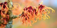 Did you know that witch hazel can reduce itching and skin irritation? Learn how to use witch hazel for psoriasis, eczema and other skin conditions. Psoriasis Remedies, Eczema Psoriasis, Herbal Remedies, Home Remedies, Witch Hazel Uses, Witch Hazel For Skin, Oils For Dandruff, Bites And Stings, Warts
