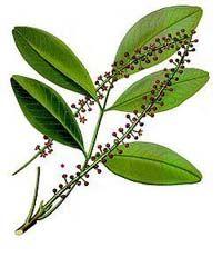 Conheça os benefícios do óleo de jaborandi