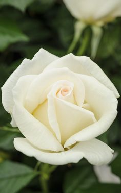 Scented roses: 'Diamond Days', a hybrid tea rose, has a citrus scent to go with the creamy, fresh, flowers. Discover how to tackle problems on your roses http://www.gardenersworld.com/blogs/plants/growing-roses---rose-diseases/3143.html Photo by Jason Ingram.