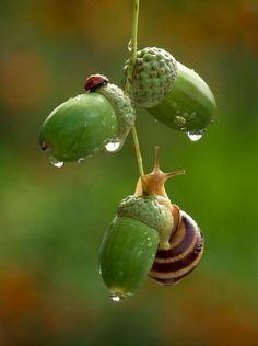Acorns, snail and a ladybug! ©Вячеслав Мищенко acorn climbing