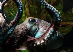 The story is familiar by now: Inky the octopus somehow escaped his tank at the New Zealand National Aquarium. Making his way across the floor, he compr ...