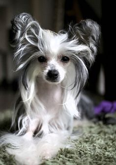 CHINESE CRESTED DOG-powder puff